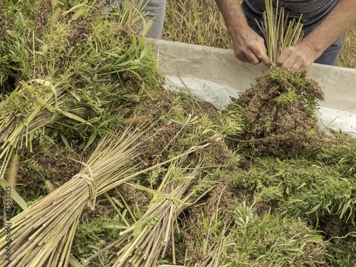 Obraz Professional farmer tying bundles of hemp stalks - fototapety do salonu