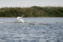 Great White Egret (egretta Alb...