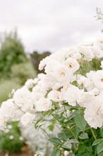 Rambling White Roses