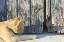 El Gato Naranja Espera A Su Pr...