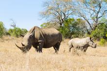 White Rhinoceros With Puppy, S...