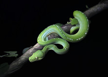 Green Tree Python (Morelia Viridis) On Branch At Night. Australia