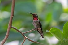 Annas Hummingbird Sitting In A...