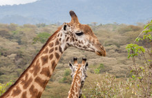 Two Giraffe Stand Together With The Heads And Necks Showing. One Giraffe Has Its Head Turned To Show Its Right Side. The Other Giraffe Is Facing Away With The Back Of Its Ears And Horns Showing.