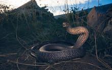 Wild Eastern Brown Snake (Pseu...
