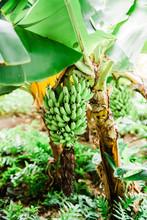 Banana Plant In Hawaii
