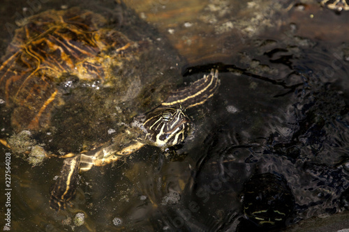 Yellow bellied turtle Trachemys scripta scripta swims in a pond