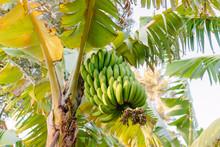 Madeira Bananas