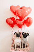 Pug Dogs In Love