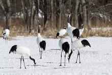 Red-crowned Cranes Crowing