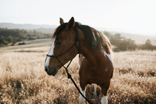 Brown Horse Portrait At Sunset