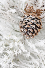 Hoar Frost On Pine Cone And Needles