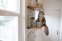 Siberian Cat Hanging Out On Kitchen Shelf