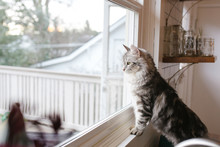 Siberian Cat Looking Out The Window