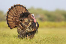 Wild Tom Turkey (Meleagris Gal...