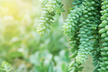 Succulent Plants, Burro's Tail, Sedum Burrito On Blurred Greenery Background  With Copy Space Using As Natural Green Background Landscape Ecology Concept