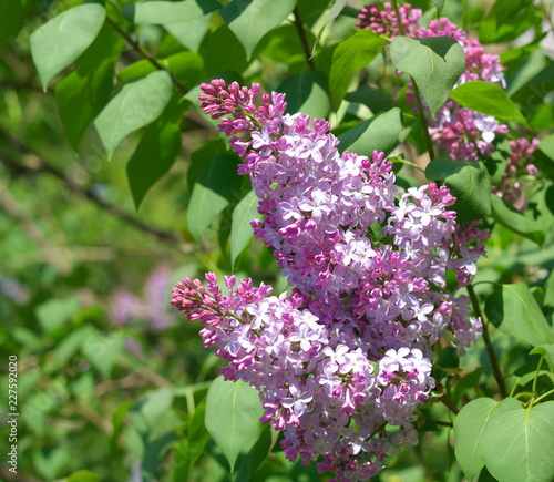 Foto op Plexiglas Lilac Lilac at Spring