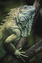 Close Up Of Green Iguana