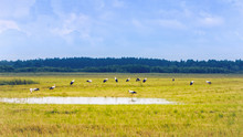 White Storks Resting On A Yellow Field At Summer Day