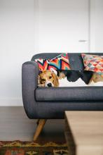 Cute Sad Dog On Sofa