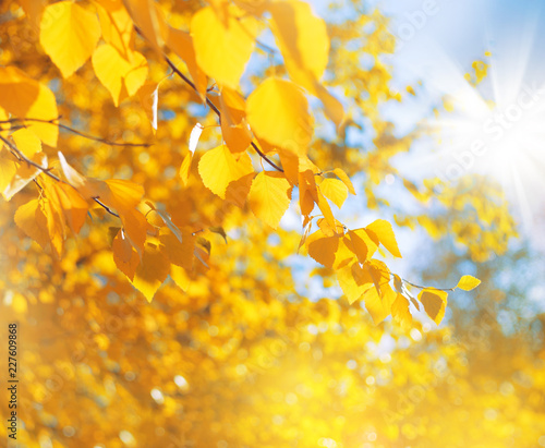 Autumn background of bright yellow birch leaves..Juicy birch leaves in vintage style.