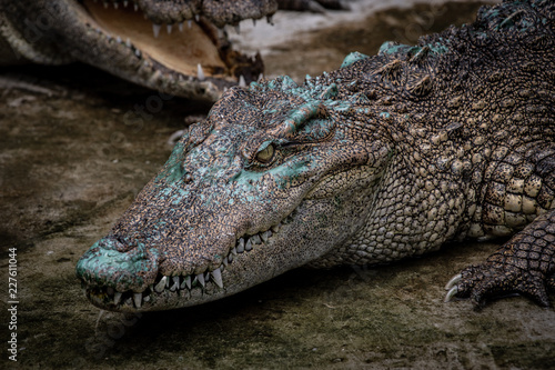 Portrait of freshwater Crocodile in a farm in Thailand, Phuket Crocodile farm, feeding the Crocodylus with raw chicken, it is one of the tourist attraction in Phuket