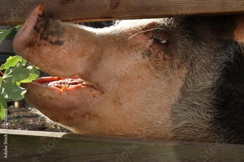 Fotografie, Obraz  Schwein beim Fressen