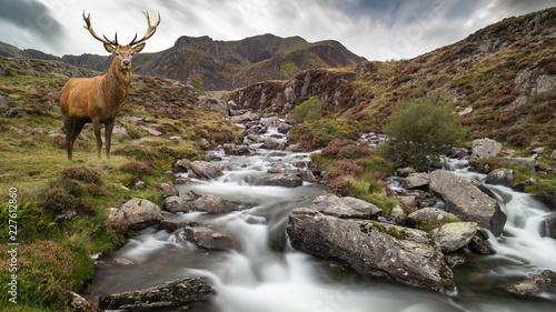 Dramatic landscape image of red deer stag by river flowing down mountainous landscape in Autumn