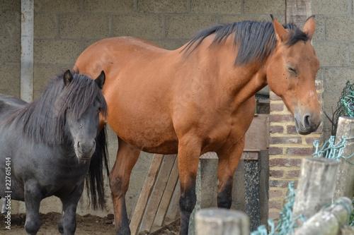 Canvas Prints Horses rustend paard en pony op een boerderij in Zuid-Limburg