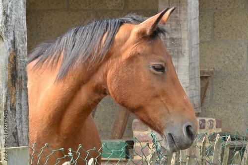 Door stickers Horses bruin paard met zwarte manen op een boerderij in Zuid-Limburg