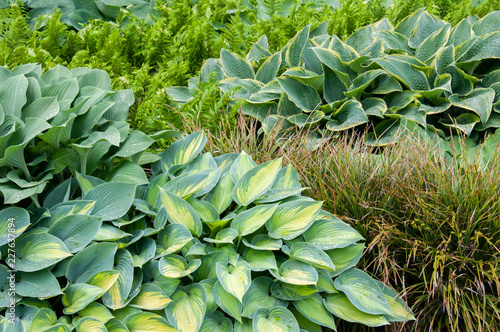 different sorts of hosta in a flowerbed mixed with fern and reed