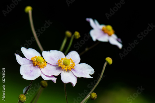 Fotografie, Tablou closeup of a japanese anemone on a black background