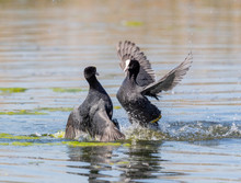 Coots Fighting