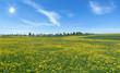 Große Löwenzahn Blumenwiese im Sonnenschein