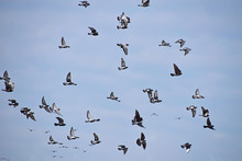 Flock Of Many Pigeon Birds In ...
