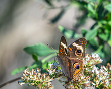 Common Buckeye Butterfly Among White Wildflowers - Side Profile From The Back!