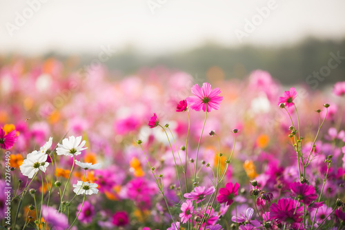 Fotobehang Bloemenwinkel The Cosmos flower of grassland in the morning