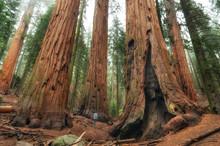 Hiker In Sequoia National Park...