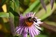 schwarze Wildbiene aus Aster