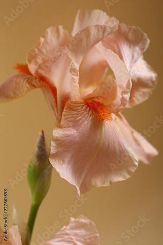 Fresh pink Iris flower