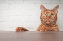 Cute Ginger Cat Looking Curious Over The Table To The Camera.