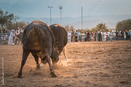 Bullfight as entertainment of locals of UAE