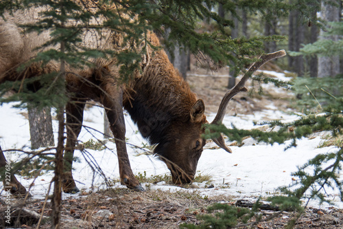 Photo  Wild Elk grazes for food in the winter in Banff National Park in Alberta Canada