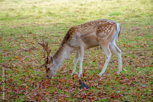 Fotobehang Hert Male fallow deer eating grass on the ground