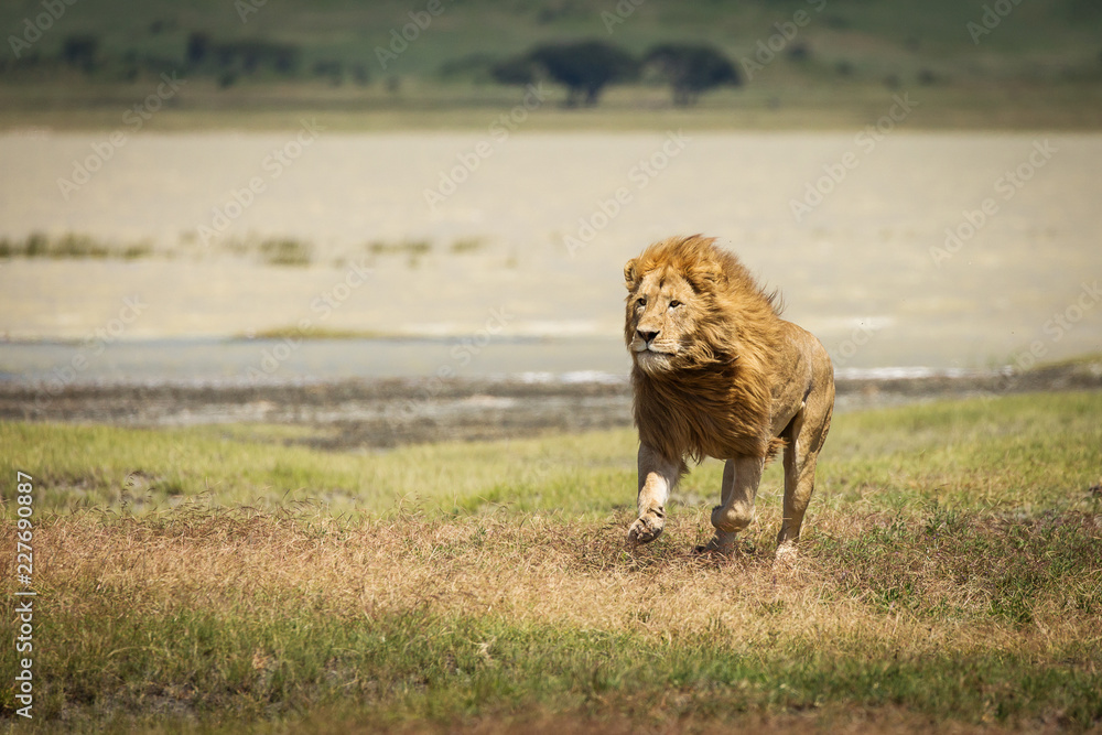 Fototapeta Lion in the grass ready to hunt in National Park of Ngorongoro, Tanzania