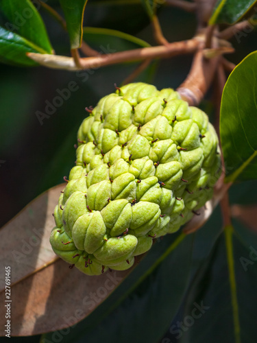 The Magnolia Tree Exhibits Seed Pods Or Cones Or Fruit Buy This