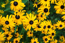 Yellow Rudbeckia (coneflowers, Black-eyed-susans) Flowers Close-up In The Garden