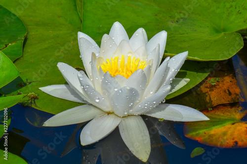 Foto op Canvas Lotusbloem lotus flower white water lily in pond
