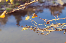 Last Golden Leaves On A Tree Branch. November Time. Sunny Weather In Autumn.