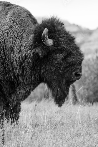Spoed Foto op Canvas Bison Bison of Theodore Roosevelt National Park